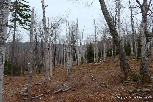 Birch Glade on the Wildcat Valley Ski Trail