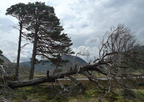 Glen Feshie Trees